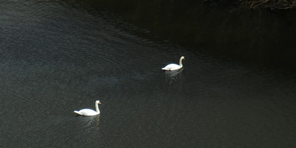 Photo: two swans on the River Aire in Leeds, March 2020.